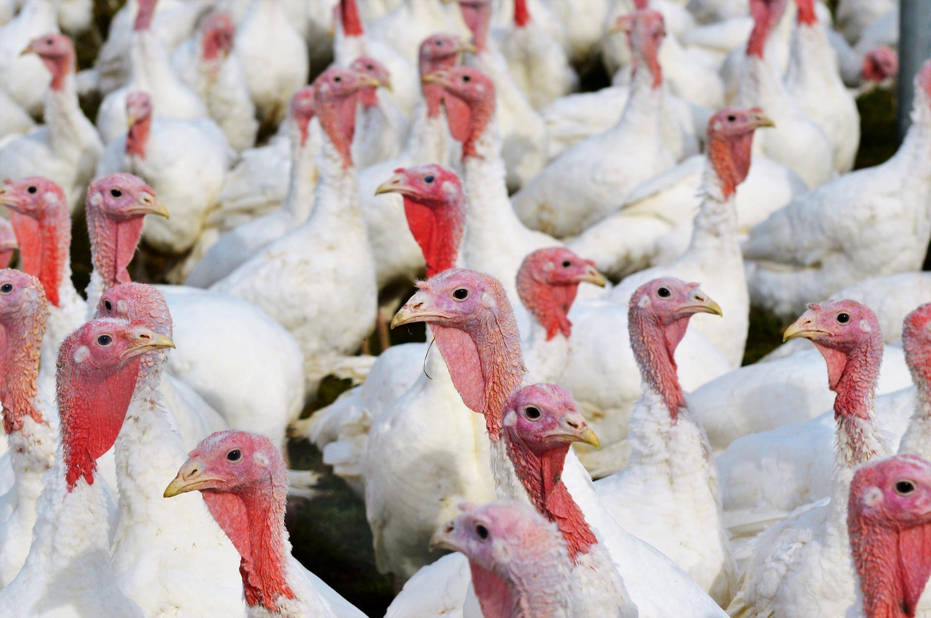 Carne din focarele de gripă aviară din Ungaria, în 26 de județe din ROMÂNIA